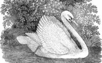 black and white swan with background