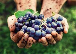 wine grapes in hand