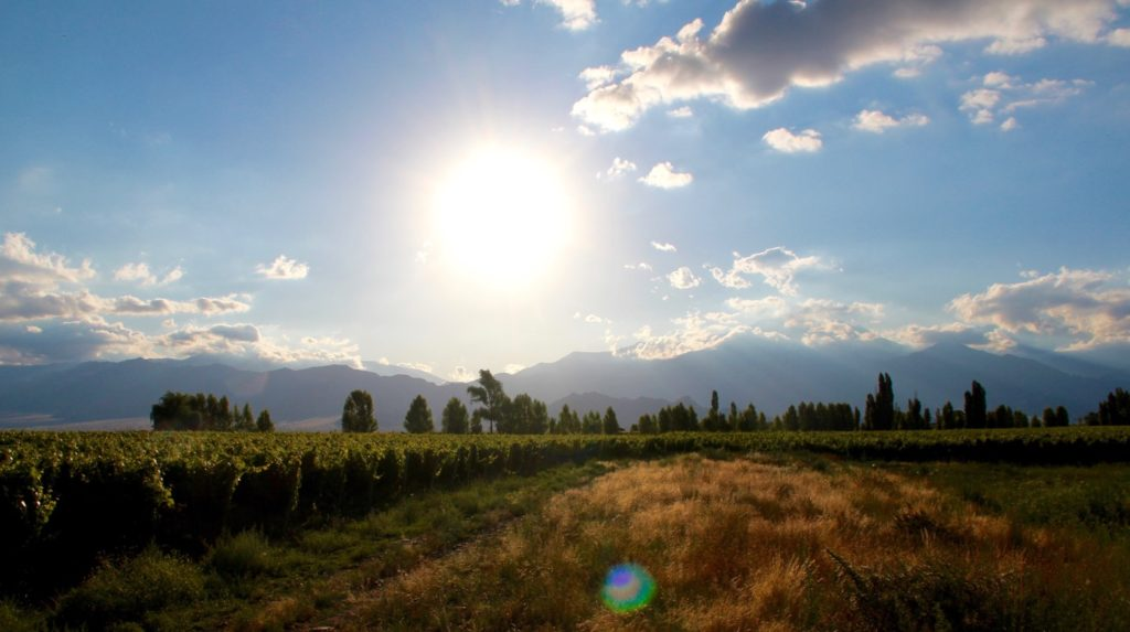 picture of vineyard with blue sky and sunshine